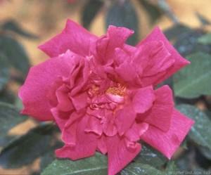 Pour célébrer son souvenir. dans Desaix,  les souvenirs roseDesaix-copier1-300x249